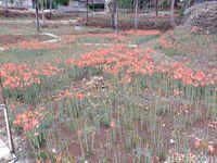 Bunga Amarilis banyak yang layu