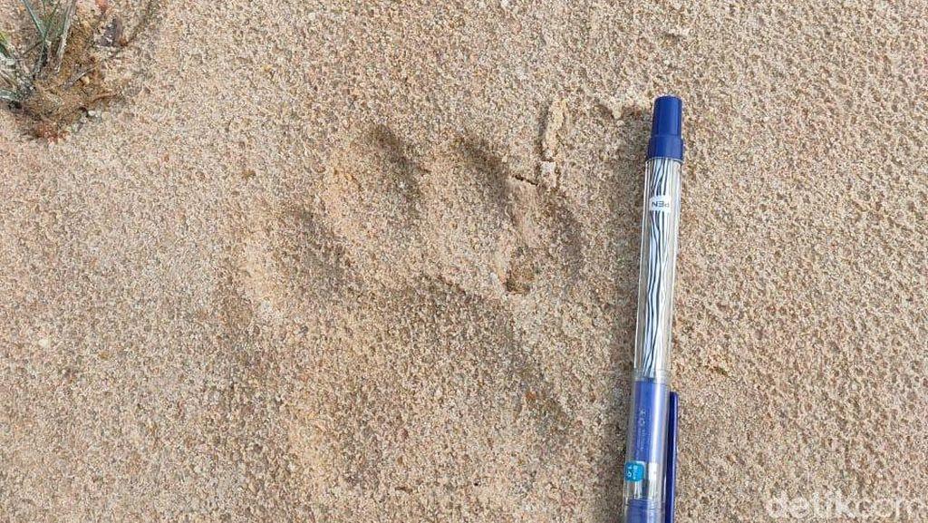 Tapak Harimau Terlihat di Perbatasan Pekanbaru-Kampar, Warga Diminta Waspada