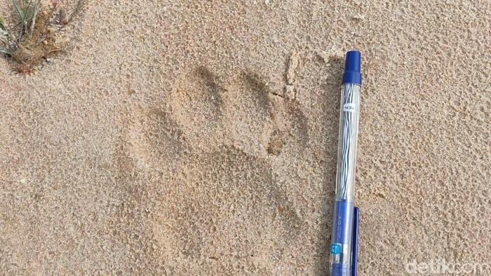 Foto: Tapak harimau di Riau (dok BKSDA)
