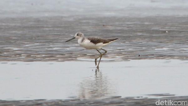 Burung migran ini hanya datang sekali dalam setahun, bulan Oktober sampai Desember. Air surut merupakan waktu yang tepat untuk melihat burung migran mencari makan di lumpur.(Foto: dok. TNSembilang)