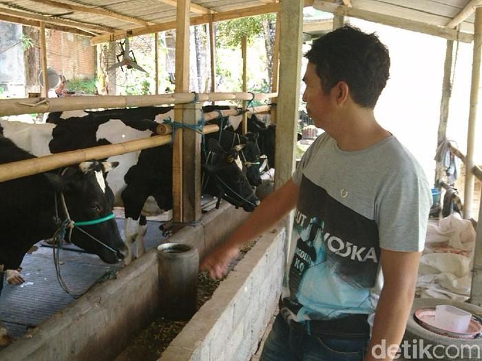 Sapi-sapi di Tulungagung (Adhar Muttaqin/detikcom)