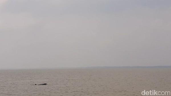 Terkait keberadaan lumba-lumba, sering kali muncul di perairan desa ini. MEreka kadang muncul 3, 5 sampai 8 ekor.(Foto: dok. TNSembilang)