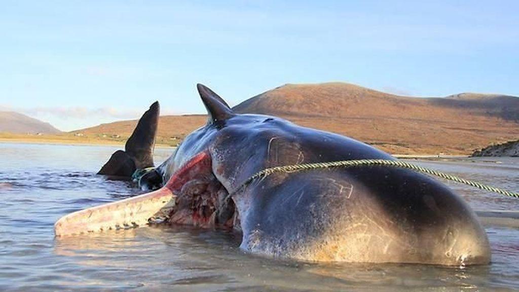 Kasihan! Paus Sperma Mati Terdampar dengan 100 Kg Sampah Laut di Perut