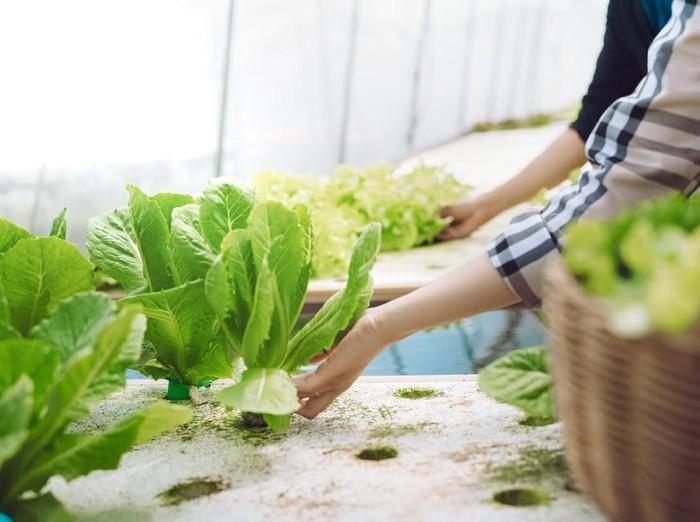Cara Menanam Hidroponik Sederhana Bagi Pemula/Foto: iStock