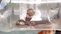 Warga Desa Glagahwangi, Kecamatan Polanharjo, Klaten, Jateng, diresahkan ular king cobra yang masuk perkampungan mereka. Meskipun belum ada laporan serangan atau gigitan, ular-ular itu diketahui masuk ke rumah-rumah warga.