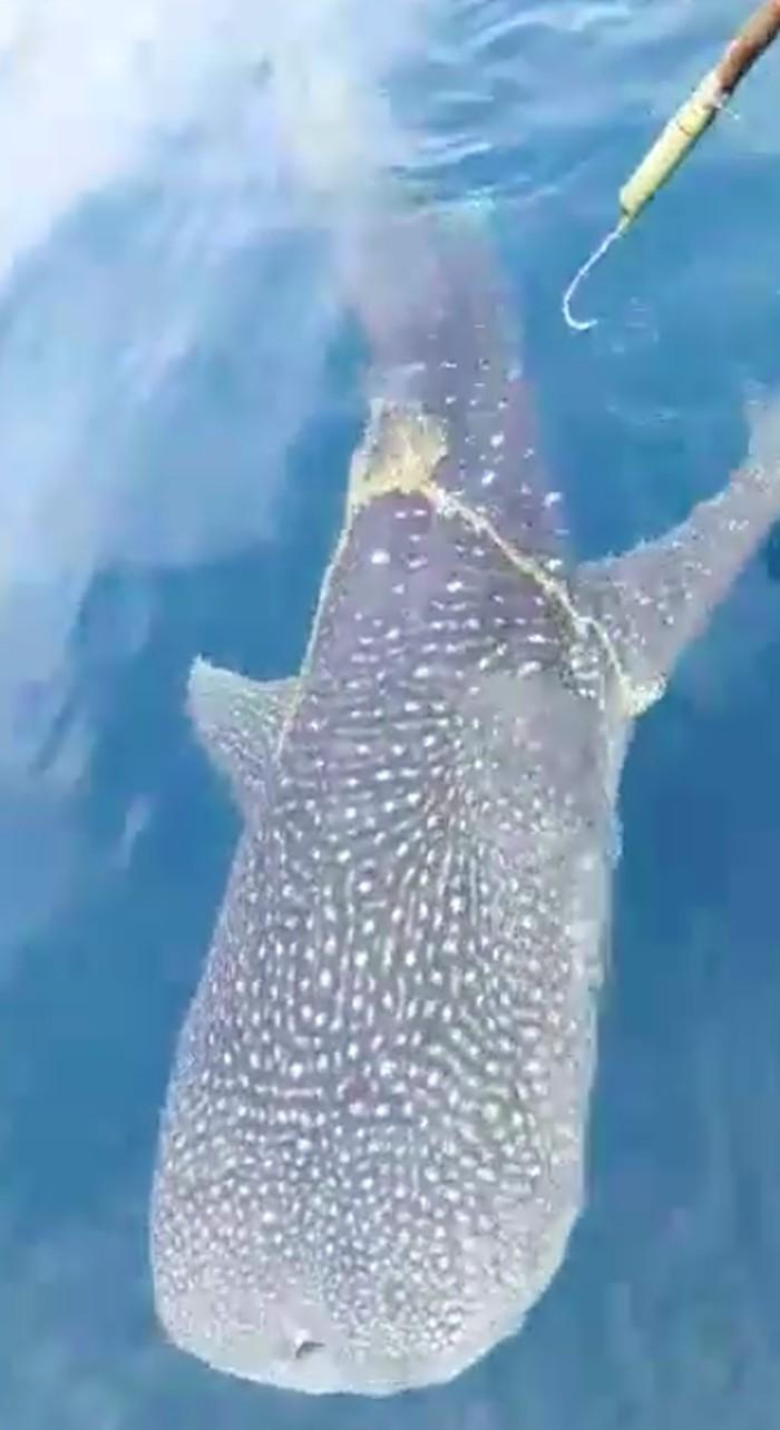 Foto: Viral hiu paus minta tolong ke nelayan
