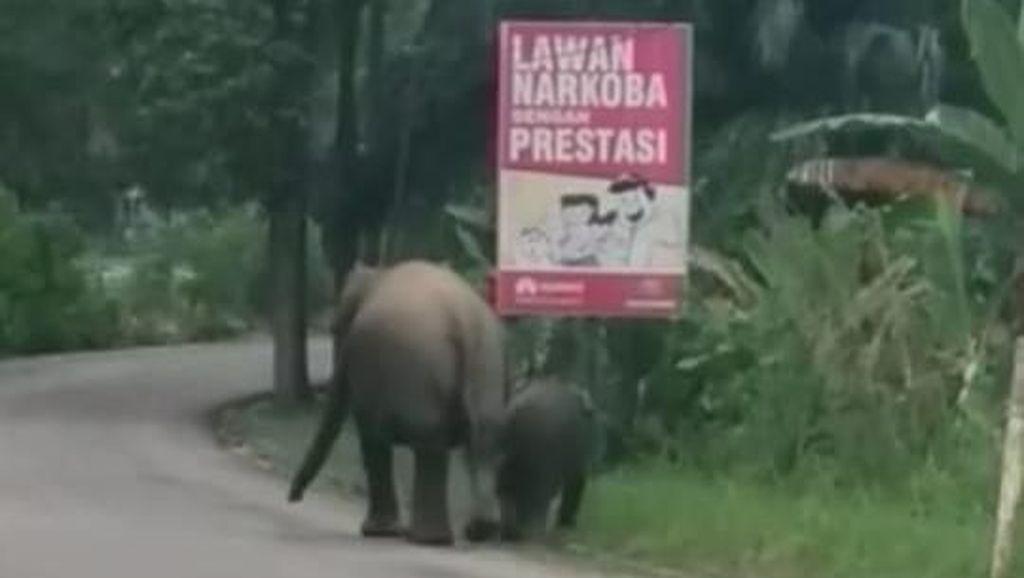Saat Gajah Liar Melintas di Pinggir Jalan Riau Bersama Anaknya