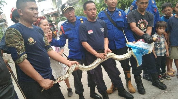 Tim animal rescue Dinas Pemadam Kebakaran (Damkar) Makassar berhasil mengevakuasi ular piton sepanjang 4 meter. (Dok. Damkar Makassar)