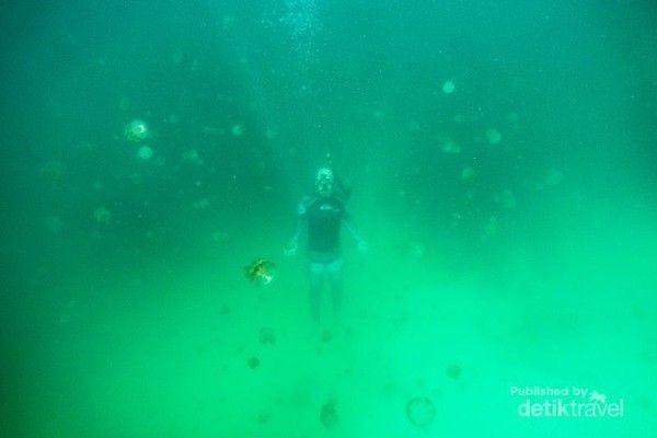 Salah satu spot berenang dengan ubur-ubur tanpa takut disengat adalah di Danau Kakaban, Kalimantan Timur. (Kukuh Himawan Samudro/dTraveler)