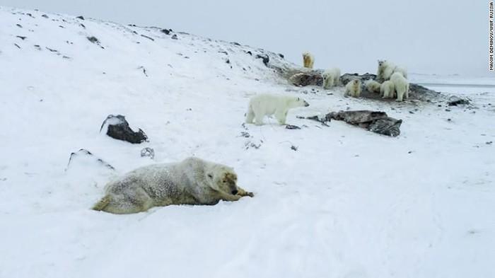 Puluhan beruang kutub masuk ke desa di pedalaman Rusia untuk mencari makan (Maxim Dyominov/WWF-Russia)