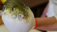 Diberi Makan Ikan Fugu yang Beracun dan Berbahaya, Bocah Ini Kritis