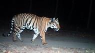 Kisah Harimau Jomblo, Jalan Ribuan Kilometer Cari Pasangan