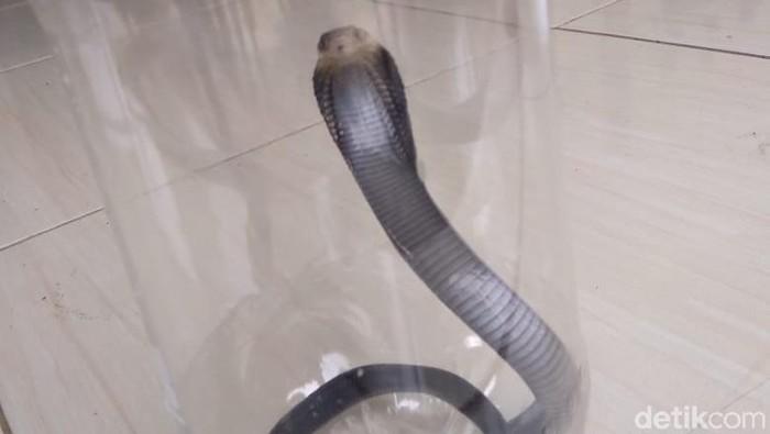 Ular kobra yang ditemukan di Royal Citayam Residence (Sachril Agustin Berutu/detikcom)