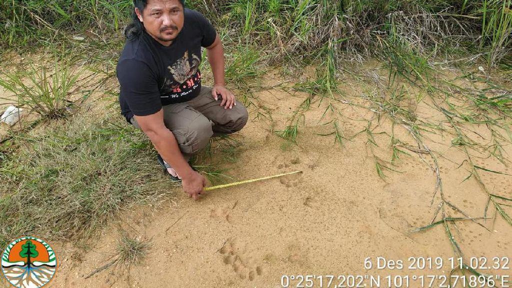 Jejak Harimau Kembali Muncul di Dekat Permukiman Warga Kampar Riau