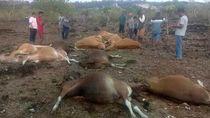 Belasan Sapi Mati Tersambar Petir di Kupang