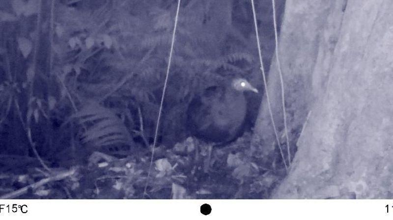 Spesies langka burung gosong Filipina ditemukan di Taman Nasional Bantimurung Bulusaraung (TN Babul), Sulawesi Selatan. Spesies ini pertama kali tertangkap kamera di wilayah resor Tondong Tallasa pada Oktober 2018. (dok. TN Babul)
