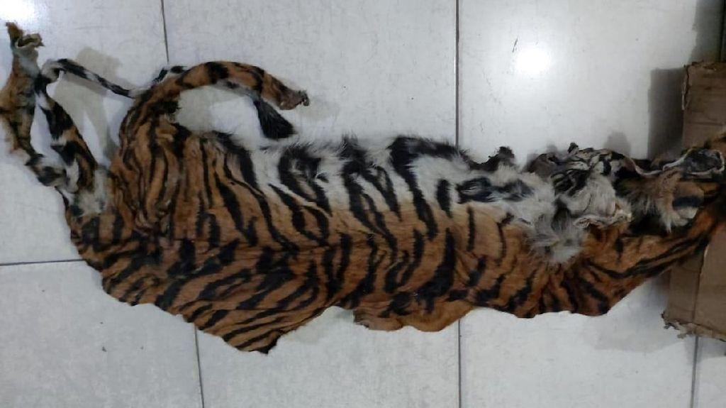 Amankan 5 Orang, Gakkum LHK Sita Kulit dan Janin Harimau di Riau