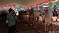 Jajaran Sapi Raksasa Bertarung Perebutkan Piala Bupati Karawang