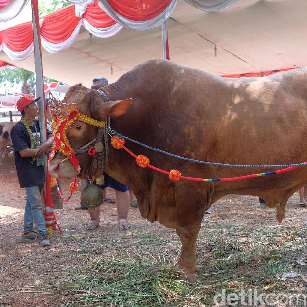 Intip Kontes Sapi Jumbo di Karawang