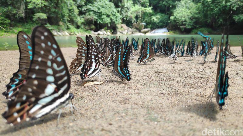 Sejak dahulu, Taman Wisata Alam Bantimurung, Maros, Sulawesi Selatan telah berjuluk Kingdom of Butterfly atau kerajaan kupu-kupu. Dimana ada sekitar 240an spesies kupu-kupu yang hidup di kawasan itu. (moehammad bakrie/detikcom)