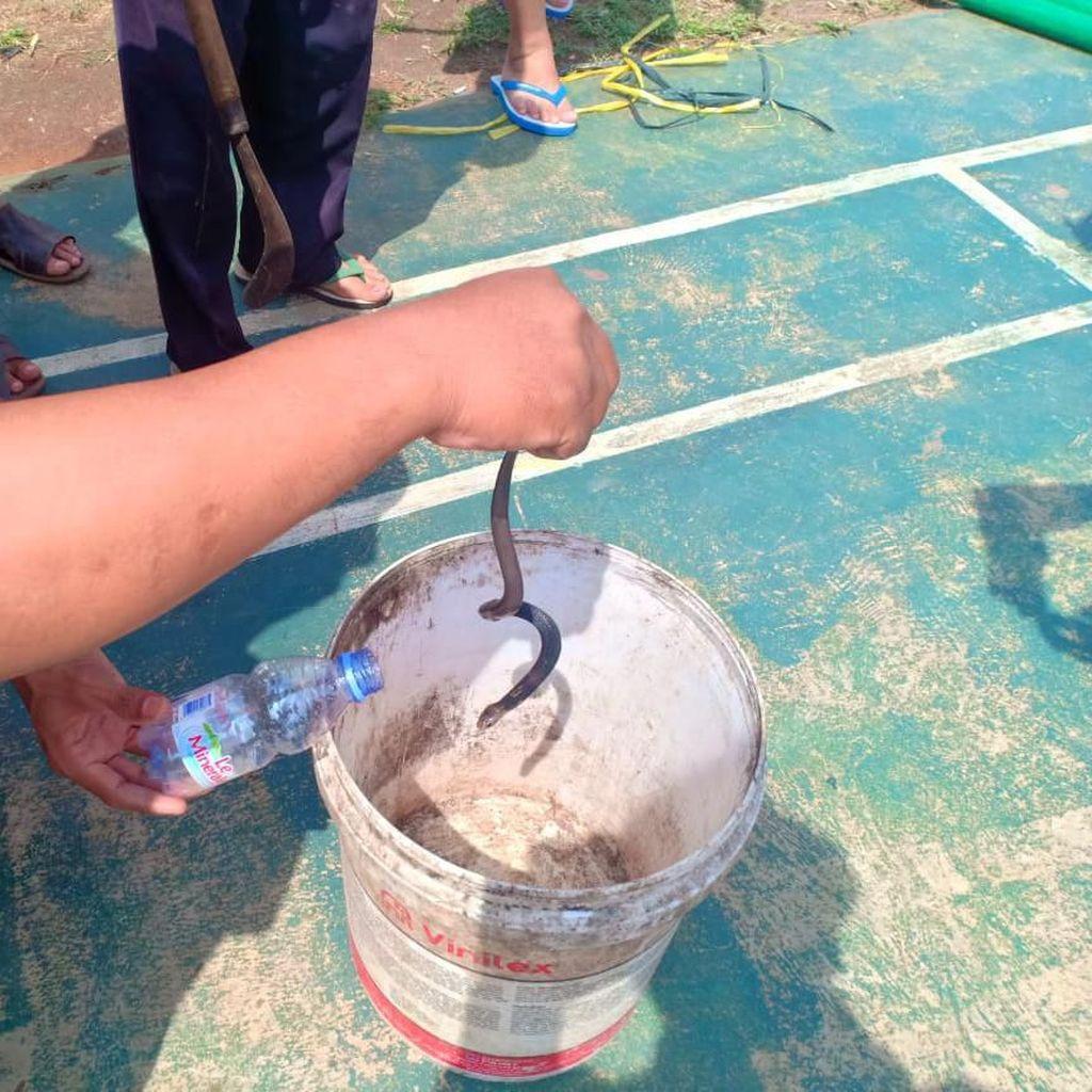 29 Anak Ular Kobra Ditangkap di Citayam, Posisi Induknya Masih Misterius
