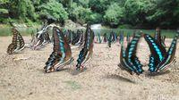 Cantiknya Kerajaan Kupu-kupu di Maros