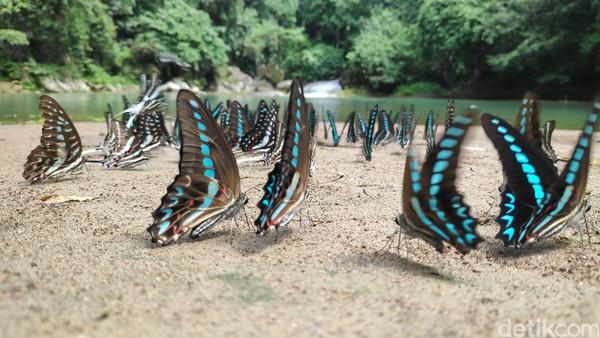 Di dalam areal kawasan wisata ini, ada lokasi yang paling banyak dihinggapi oleh kupu-kupu. Berjarak sekitar 1 kilometer dari air terjun, atau tepatnya di telaga Kassi Kebo, ribuan ekor kupu-kupu hingga di tepian danau dan sesekali terbang berkeliling. (moehammad bakrie/detikcom)
