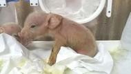 Anak Babi Campuran Monyet Lahir di China