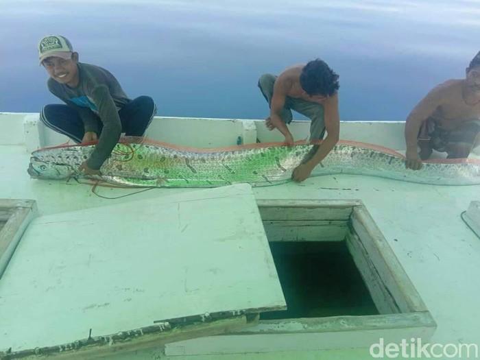 Foto: Ikan Oarfish ditangkap di Selayar (dok ist)