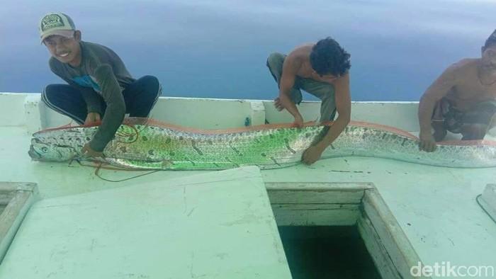 Ikan oarfish ditangkap di Selayar. (Foto: Istimewa)
