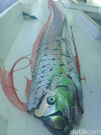 Ikan yang ditangkap Haerul panjangnya empat meter lebih