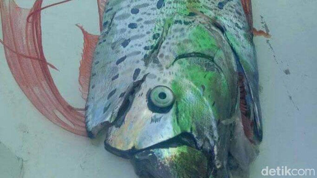BKIPM Makassar Telusuri Ikan Oarfish di Selayar