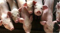 Menkes Tegaskan Flu Babi Afrika Tak Menular ke Manusia