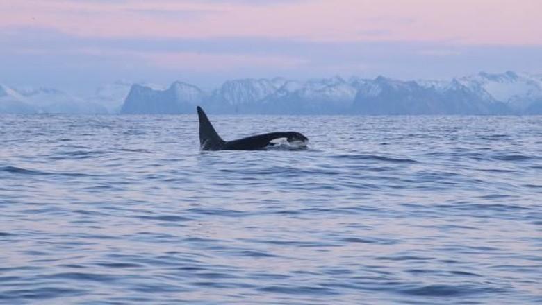 Foto: Berenang bersama paus pembunuh (visitlapland)