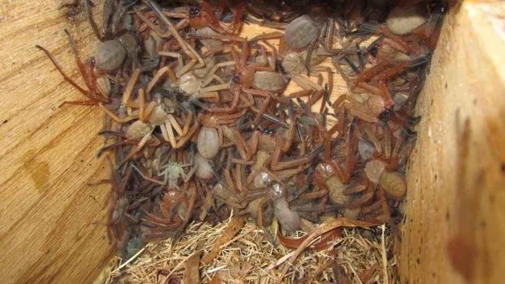 Merinding! Buka Kotak Isinya Puluhan Laba-laba Raksasa