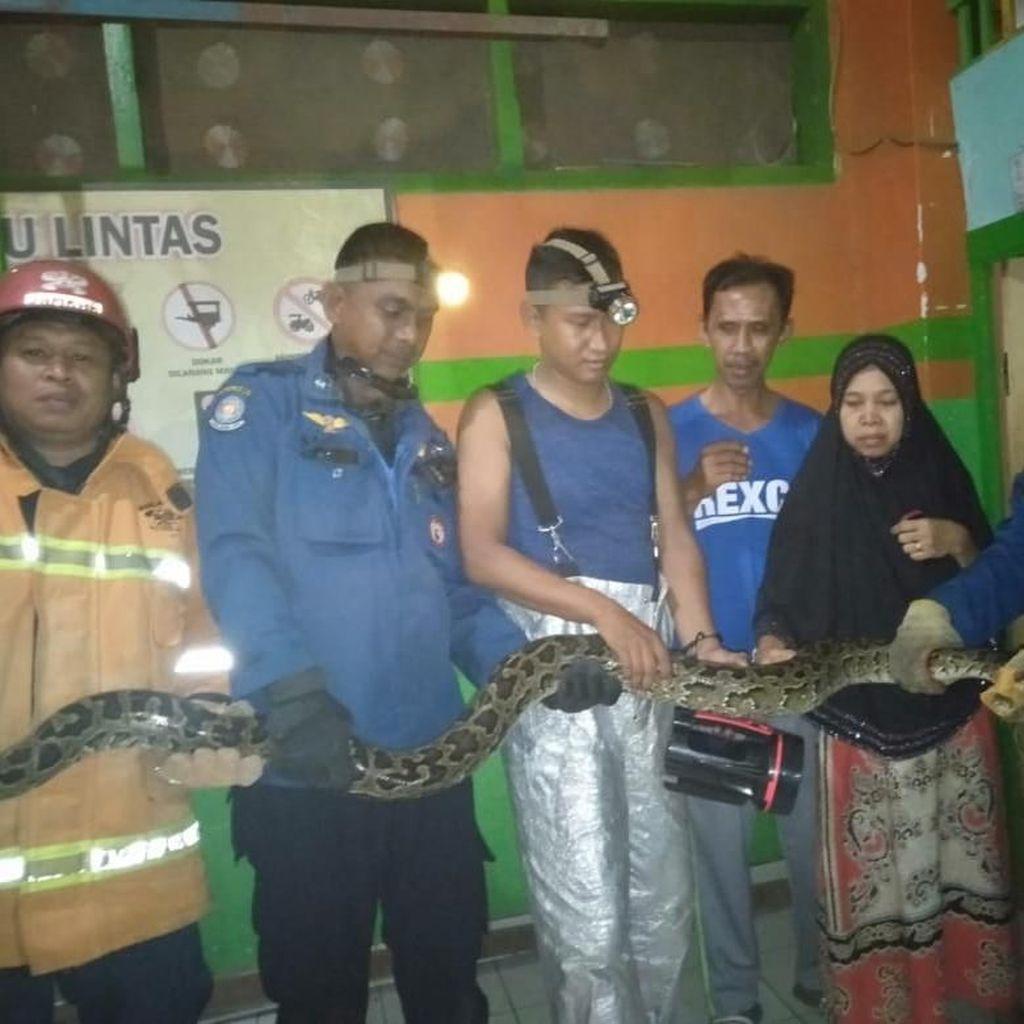 Ular Sanca 4 Meter Dievakuasi dari Dalam Sekolah di Makassar