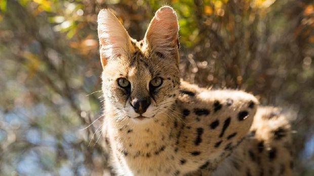 Chimera dan 18 Hewan Kawin Silang Beda Spesies yang Berhasil