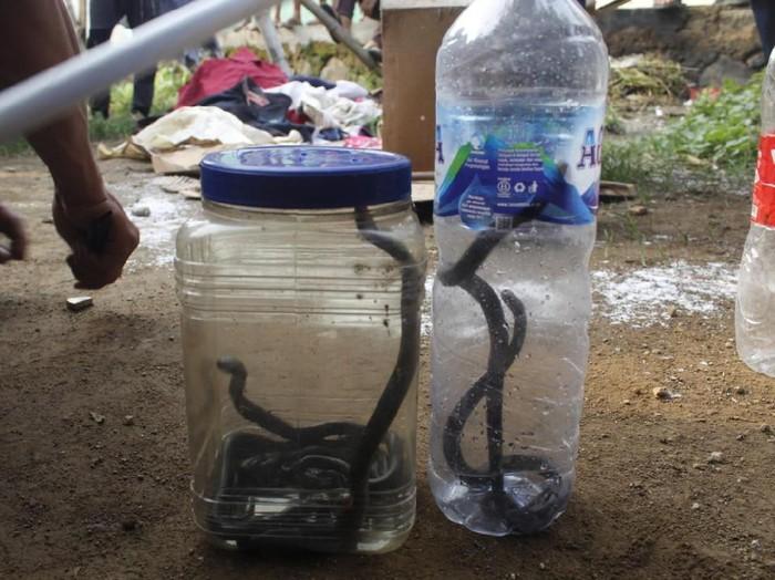 Anak ular kobra yang berhasil diamankan. (Foto: Dok. Diskar PB Kabupaten Purwakarta)