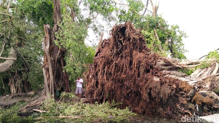 Pohon-pohon tua tumbang di Umbul Manten, Klaten. (Achmad Syauqi/detikcom)