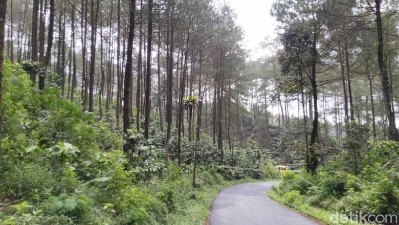 Hutan Pinus Puncak Jahim di Ciamis, yang bisa jadi opsi untuk liburan akhir tahun. (Foto: Dadang Hermansyah /detikcom)