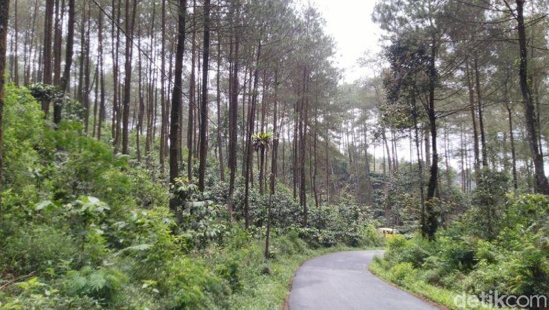 Keindahan alam Hutan Pinus di Puncak Jahim, Kabupaten Ciamis, menjadi salah satu lokasi yang wajib dikunjungi. Tempat ini menjadi favorit warga untuk beristirahat selepas perjalanan jauh. (Dadang Hermansyah /detikcom)