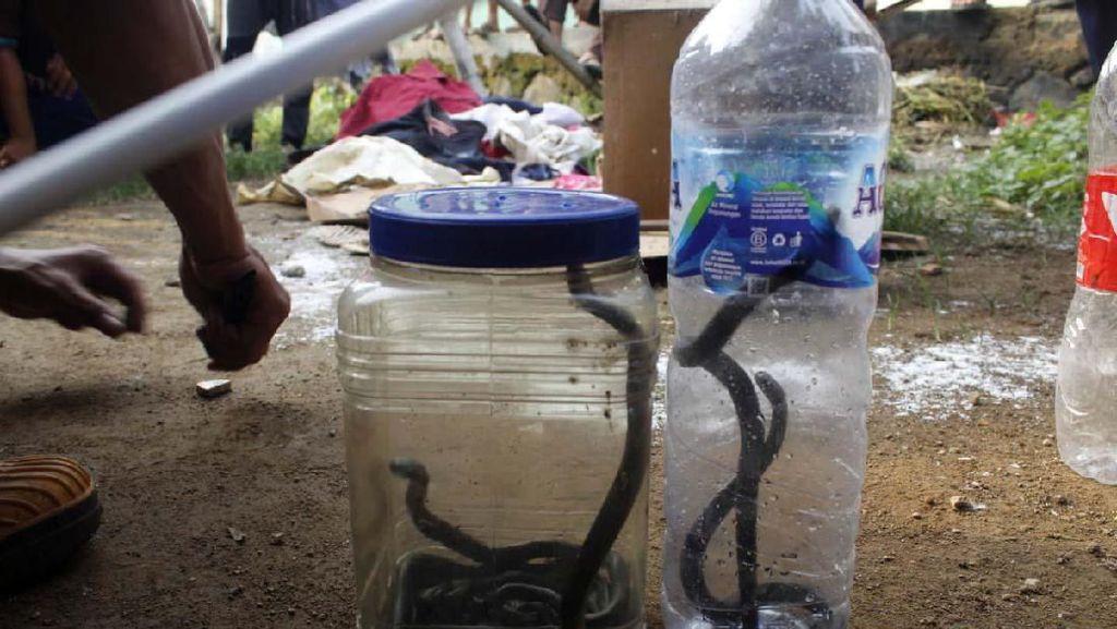 Habitat Rusak Diduga Faktor Kobra Lahirkan 13 Anak di Rumah Warga