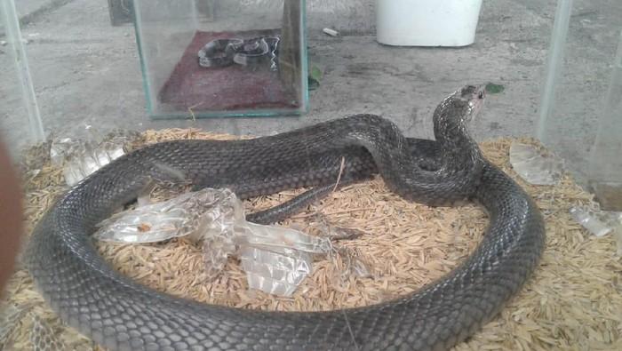 Foto: Ular kobra yang ditemukan di Gunungkidul (dok.ist)