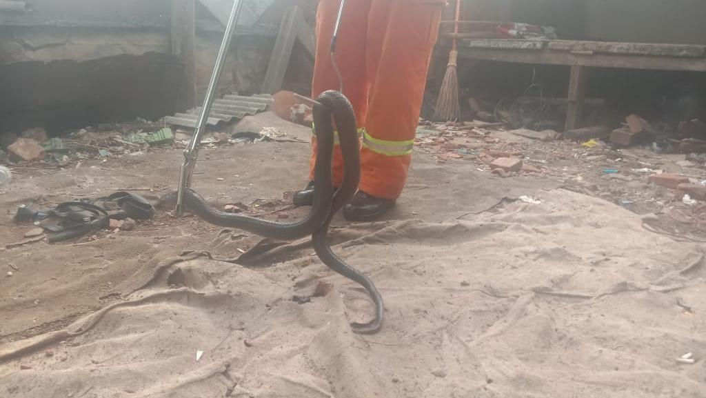 Damkar Bekasi Evakuasi Induk Kobra dari Rumah Warga