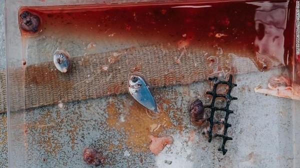 Tim Lecomte juga mencari kandungan plastik di dalam ikan. Setiap kali menangkap satu ikan, mereka memeriksa isi ususnya dan mengambil sampel daging, sebelum memasak dan memakannya. Merekamenemukan ikan kecil, bagian cumi-cumi dan sepotong vexar, plastik yang biasa digunakan oleh industri pertanian kerang (Foto: CNN)