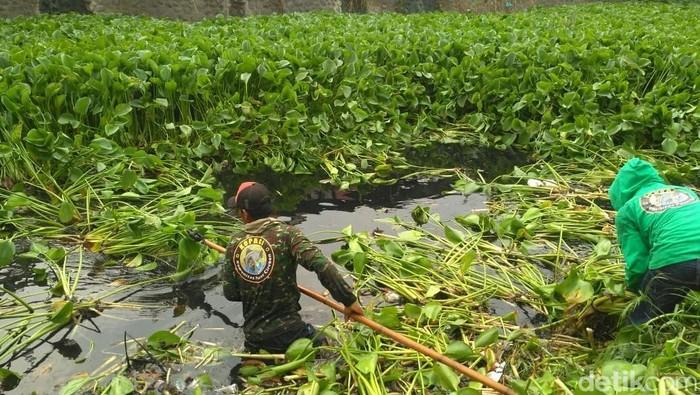 Pembersihan eceng gondok di Sungai Cipager Cirebon. (Foto: Sudirman Wamad/detikcom)