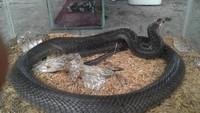 Gambaran Teror Ular Kobra yang Melanda Yogyakarta