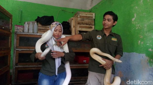 Pasutri di Banjarnegara ternak ular
