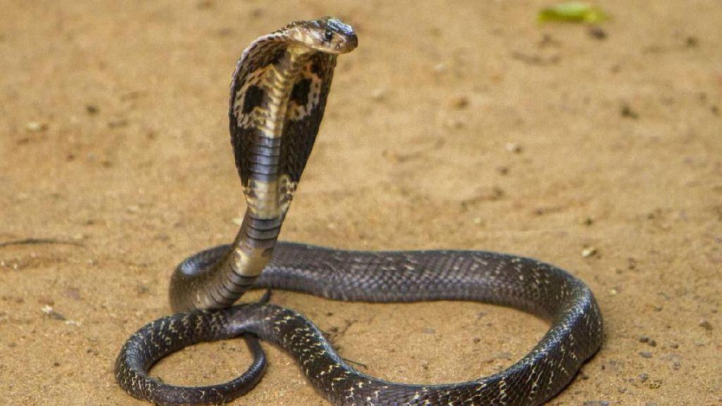 Bunuh Istri dengan Ular Kobra, Pria India Dibui Seumur Hidup