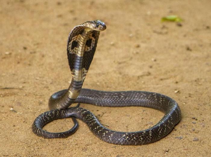 ilustrasi kobra